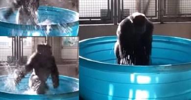 Video Gorila Berdansa yang Membikin Bahagia