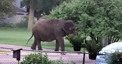 Gajah 4 Ton Berjalan-jalan di Permukiman Warga di AS