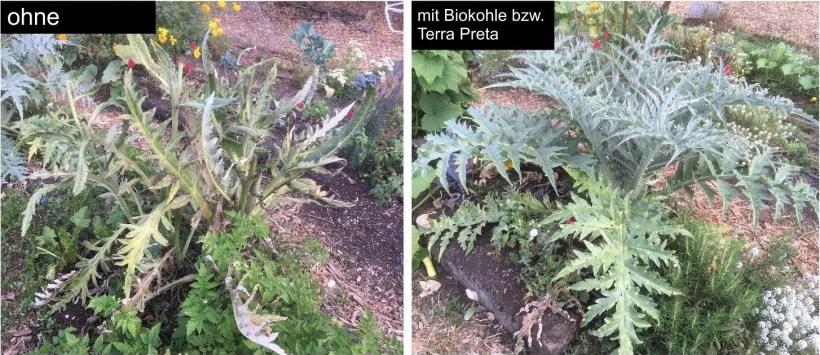 Vergleich Terra Preta und Biokohle bei Artischoke