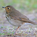 Swainson's Thrush, brown bird on the ground
