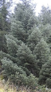 Trees like this Turkish fir may form the basis for a new Christmas tree industry in the United States.