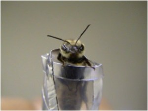 As part of Ramesh Sagili's experiments to understand honeybee behavior, bees wait in this feeding tube to receive sugar solutions. (Photo courtesy of Ramesh Sagili)