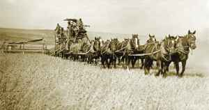 Farmers used a team of 14 draft animals to harvest wheat. (Photo courtesy of OSU University Archives)