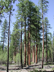 Mixed stands of Ponderosa and lodgepole pine dominate the Pringel Falls forest.