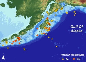 An example of a map created using geneGIS tools within ArcGIS to visualize the sighting locations of humpback whales from two maternally inherited mitochondrial DNA (mtDNA) lineages in the Gulf of Alaska.  (Map courtesy of Dori Dick)