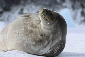 During the austral summer, Weddell seals are often found sunbathing on the surface of the seasonally frozen sea ice. (Photo: Henry Kaiser)