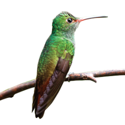 This rufous-tailed hummingbird (Amazalia) is one of the species that Matt Betts studies at the Las Cruces Biological Station in Costa Rica. (Photo: Wikimedia Commons)