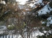 Blick auf unser Haus durch den Korkenzieherhasel unseres Nachbarn