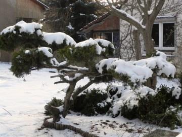 In unserem Vorgarten steht dieser Krüppelwacholder(?) voller Schnee.