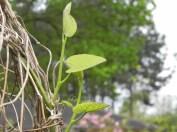 sehr filigrane Schlingpflanze, weiß den Namen nicht / very filigree winder, don't know the name