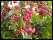 Pfaffenhütchen -Vorsicht --> giftig! spindle tree - Attention --> toxic!