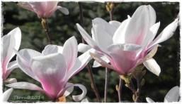 magnolie-2.4.-2