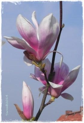 magnolie-2.4.-7