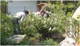 Zentrale Pflanze soll ein wunderschöner Kirschlorbeer werden. / Central plant should become a beautyful cherry laurel