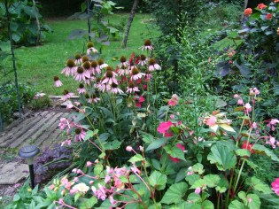 coneflowers and hardy begonia