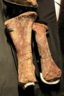 Fósseis do maior dinossauro já conhecido