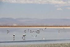 Muitos Flamingos
