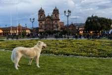 Cachorro fazendo a festa em um dos canteiros da Plaza de Armas