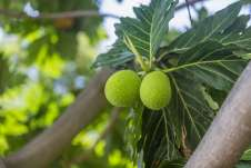 O fruto Jicaro, que dá nome à Ilha