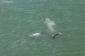 Baleias que nadavam tranquilamente embaixo da Golden Gate Bridge