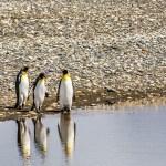 FineArt Pinguim-Rei