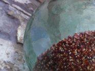 I semi del mais Ross d'Aquileia