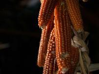 Le pannocchie di mais Ros d'Aquileia