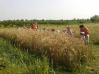 I bambini e il grano a casa nostra