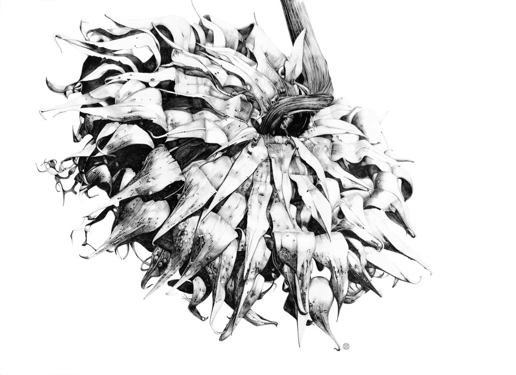 large detailed drawing of bull thistle flower head by kristin maija peterson