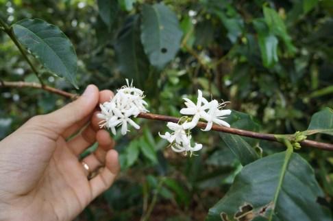 Linda flor do Café, com fragrância de jasmin
