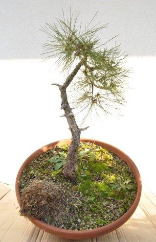 Matjaž`s Black Pine