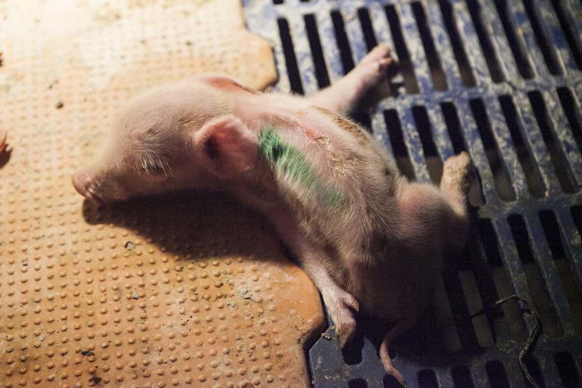 More Horrors From Australian Piggeries
