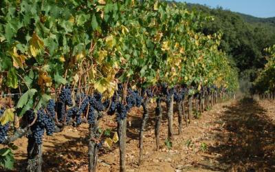 Cresce il vino sostenibile