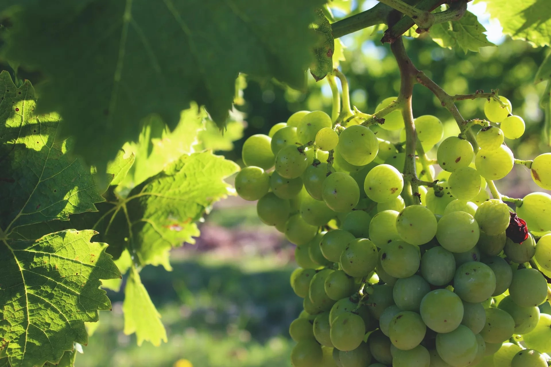 relance agriculture vignoble