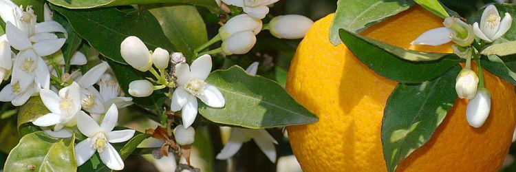 la fleur d'oranger