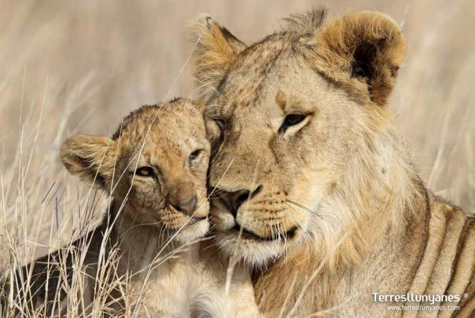Leona y su cría en Masai Mara