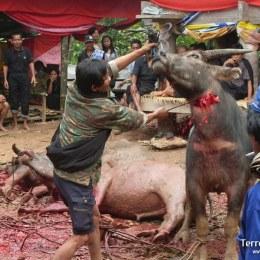 Asistir a una ceremonia funeraria de los Toraja en algún poblado remoto de Sulawesi.