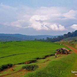 Descobrir la terra de les plantacions de te
