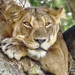 Descobrir la vida salvatge dels seus parcs com Queen Elizabeth, Ishasha o Mburo