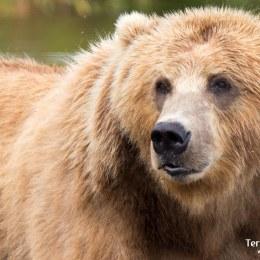 Millor observació d'óssos del món a l'illa de Kodiak