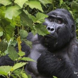 Trekking per Impenetrable Bwindi Forest per conèixer els Goril·les de muntanya