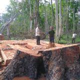 foresta cambogiana