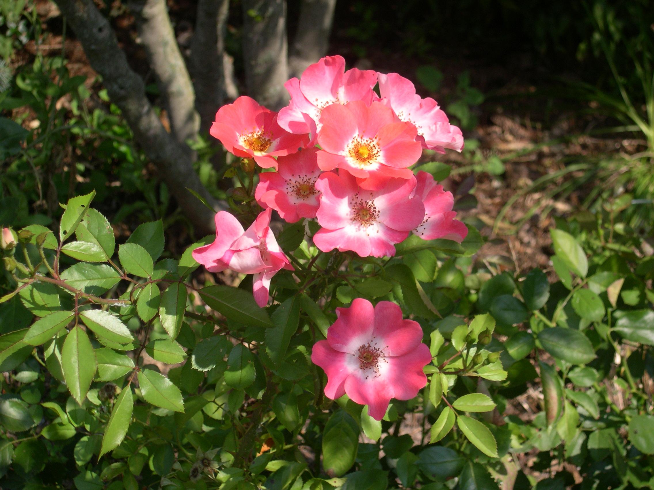 pretty little roses