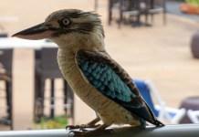 Kingfishers in Gove