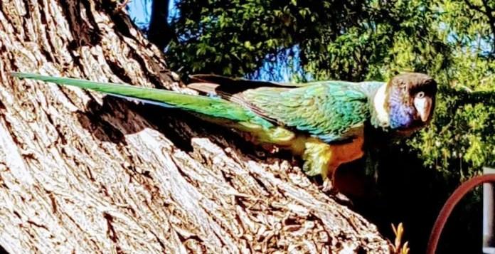 Port Lincoln parrot