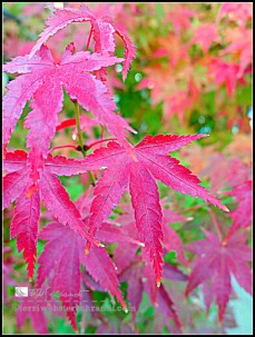 autumn maple close up