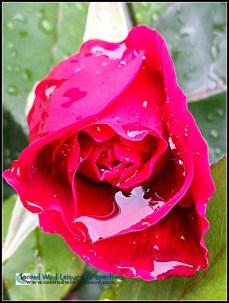 Rain-soaked rose glistens