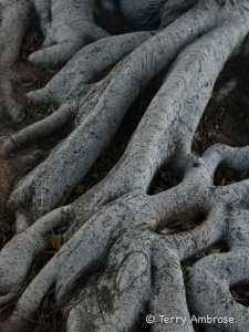 Tree roots in Carlsbad Village