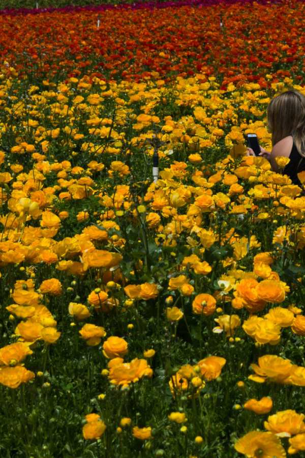 Destination — Carlsbad Flower Fields