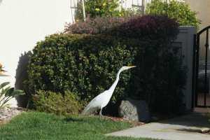 Egret in the neighborhood